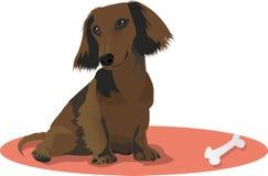 Cute dachshund. Really cute dachshund sitting on the floor Stock Image