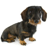 Cute dachshund Stock Images