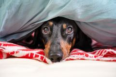 Cute dachshund, black and tan, is hid on a bed under a blanket.  stock photos