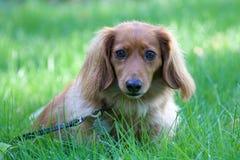Cute Dachshund. A cute dachshund sitting in the grass royalty free stock photography