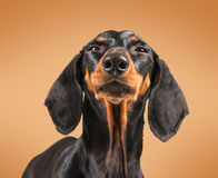 Cute dachshund dog Stock Images