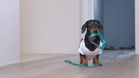 Cute dachshund dog in a white T-shirt with print bringing a blue leash from the room, hinting to the owners that he wanting to go