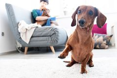 Free Cute Dachshund In Room With Woman And Other Dog On Background Royalty Free Stock Images - 138201539