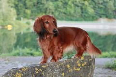 Cute dachshund lady posing on a rock. Longhair doxie outdoors posing in front of a lake and a forest in the nature stock image