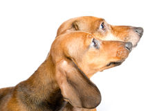 Cute dachshund puppies close-up. Cute dachshund puppies white background Royalty Free Stock Photo