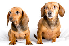 Cute dachshund puppies close-up. Cute dachshund puppies white background Stock Photo