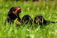 Cute dachshund puppies playing in green grass Stock Images