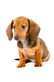 Cute dachshund puppy close-up Stock Images