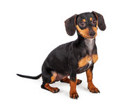 Cute Dachshund Puppy Dog Sitting Royalty Free Stock Photo
