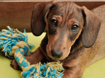 Cute Dachshund puppy. Lovely sweet Dachshund puppy playing with a toy rope stock photos
