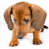 Cute dachshund puppy Royalty Free Stock Photos
