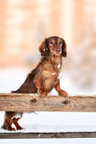 Cute Dachshund puppy in winter happy day Stock Image