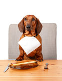 Cute dachshund sitting at the table ready to eat Stock Photography