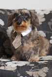 Cute dachshund with tie Stock Image