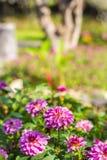 Cute dahlia flower in garden Royalty Free Stock Photo