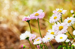 Cute daisies Stock Image