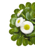 Cute daisy, Bellis perennis, isolated Royalty Free Stock Photography