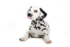 Cute dalmatian stock photos