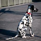 Cute Dalmatian Royalty Free Stock Image