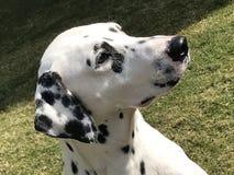 Cute Dalmatian stock photography