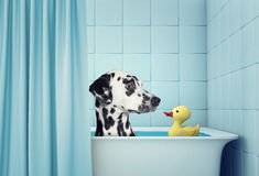 Cute dalmatian dog in the bath Stock Images