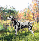 Cute Dalmatian dog breed stands in the position of exhibition st Royalty Free Stock Image