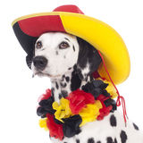 Cute dalmatian dog with german fan equipment Royalty Free Stock Photography