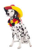 Cute dalmatian dog with german fan equipment Royalty Free Stock Images