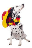 Cute dalmatian dog with german fan equipment Royalty Free Stock Photo