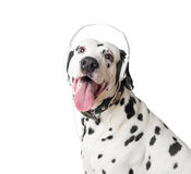 Cute dalmatian dog in headphones and collar. Royalty Free Stock Photos