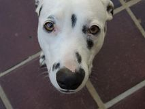 A cute Dalmatian dog looking at you. Like wants something Royalty Free Stock Image