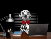 Cute dalmatian dog manager is doing some work on the computer. Isolated on black. Background Stock Photo