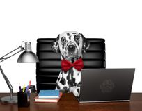 Cute dalmatian dog manager is doing some work on the computer. Isolated on white. Background Stock Photos