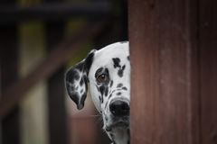 Cute dalmatian dog playing outdoor and hiding Royalty Free Stock Image