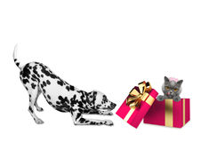Cute dalmatian dog standing near his birthday gift box with cat Stock Photography