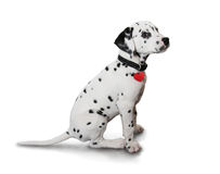 Cute Dalmatian puppy. Isolated on white royalty free stock photos