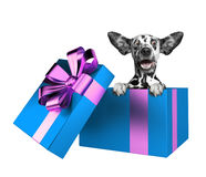 Cute dalmatian puppy in a blue present box isolated on white Royalty Free Stock Photos