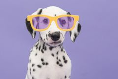 Cute dalmatian puppy dog wearing yellow glasses on a purple background stock photography