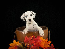 Cute Dalmatian Puppy Stock Photo