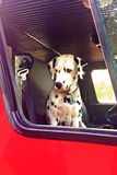 Cute Dalmatian in a Red Firetruck Royalty Free Stock Photography
