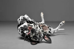 Cute dalmatians in lies supine in gray background photo studio. Cute dalmatians in lies supine in a gray background photo studio royalty free stock image