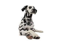 Cute dalmatians lying with crossed legs in a white background phot. Cute dalmatians lying with crossed legs in white background photo studio stock images