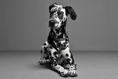 Cute dalmatians lying in a gray background photo studio. Cute dalmatians lying in gray background photo studio royalty free stock image