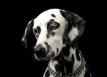 Cute dalmatians portrait in black background photo studio. Cute dalmatians portrait in a black background photo studio royalty free stock photos