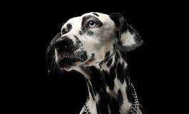 Cute dalmatians portrait in black background photo studio. Cute dalmatians portrait in a black background photo studio stock photography