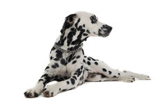 Cute dalmatians relaxing in white background photo studio. Cute dalmatians relaxing in a white background photo studio stock photos