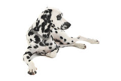 Cute dalmatians relaxing in a white background photo studio. Cute dalmatians relaxing in white background photo studio royalty free stock photography