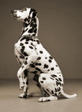 Cute dalmatians sitting and lift his leg in sephia background ph. Cute dalmatians sitting and lift his leg in a sephia background photo studio stock image