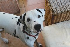 Cute dalmation puppy looking up stock photo