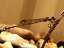 Cute Damsel fly 1. Dragon fly damsel fly in focus nice shot close shot cuteness  lovethedragonfly Stock Photo